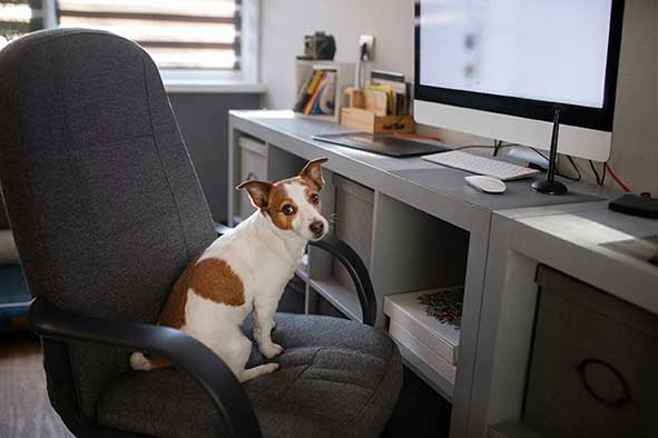 A dog sitting in an office chair at the workplace.
